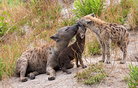 Hyena Mom and Pup Return Greeting to Sister