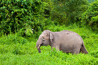 Pygmy Elephant Strolling Through Meadow