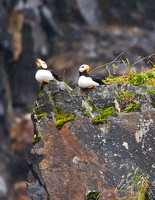 Horned Puffins in the Rain