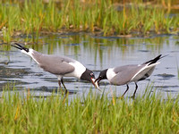 Laughing Gulls Courting - Male Feeds Female