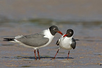 Laughing Gulls Courting