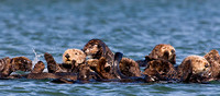 Raft of Sea Otters