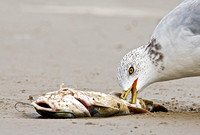 Gull Scavenging Dead Fish