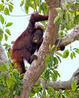 Orangutan with Fruit in Mouth