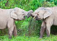 Pygmy Elephants Trunk-Wrestling