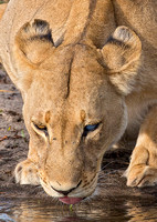 Lioness with Bad Eye Drinking