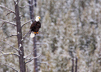 Bald Eagle Perched in Snowfall