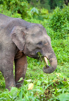 Pygmy Elephant Feeding