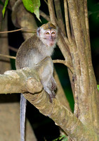 Long-Tailed Macaque Watching Canopy