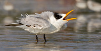 Royal Tern Calling