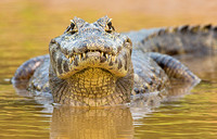 Watchful caiman