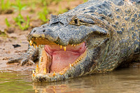 Large old male caiman
