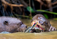 Giant otters sharing fish