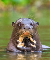 Giant otter with attitude