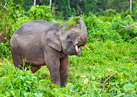Pygmy Elephant Thrashing Grass on Head to Remove Dirt