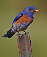 Western Bluebird with Insect for Young
