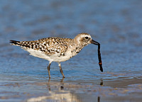 Black-Bellied Plover Investigating an Object