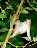 Long-Tailed Macaque Descending