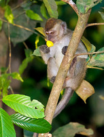 Long-Tailed Macaque Sniffing Flower