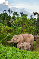 Pygmy Elephant Mother and Calf Foraging