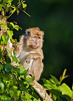 Long-Tailed Macaque Observing Troop