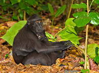 Black-Crested Macaque with Infant