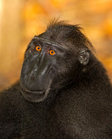 Black-Crested Macaque Adult Male