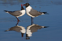 Laughing Gulls Courting - Female Begs for Food
