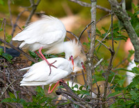 Cattle Egret Male Nips Female's Neck After Mating