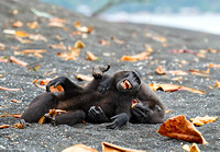 Black-Crested Macaques Playing