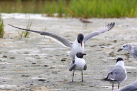 Laughing Gulls Mating