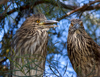 Juvenile Black-Crowned Night Herons