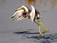 Tricolored Heron after Scooping Up Small Fish