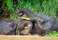 Pygmy Elephants Trunk-Wrestling in River