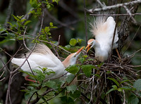 Cattle Egret Female Rejecting Advances of Her Mate