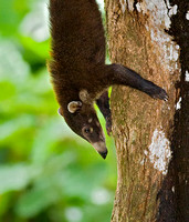 Coati Descending Tree Head First