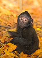 Black-Crested Macaque Juvenile