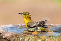 Bullock's Oriole Bathing