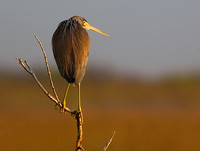 Tricolored Heron at Dawn