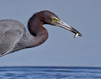 Little Blue Heron with Fish