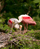 Roseate Spoonbill Parent with Young
