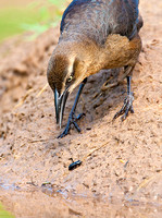 Great-Tailed Grackle Nabbing a Beetle