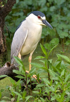Black-Crowned Night Herons