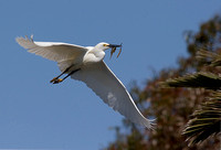 Snowy Egret with Nesting Material