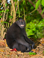 Black-Crested Macaque Grinning