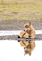 Gray Wolf Relaxing