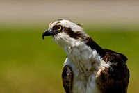 Osprey on Ground