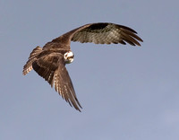 Osprey Slamming on Brakes, Circling Back for Fish