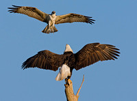 Osprey Harassing Bald Eagle