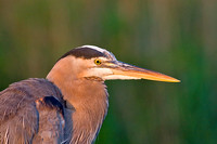 Great Blue Heron at First Light